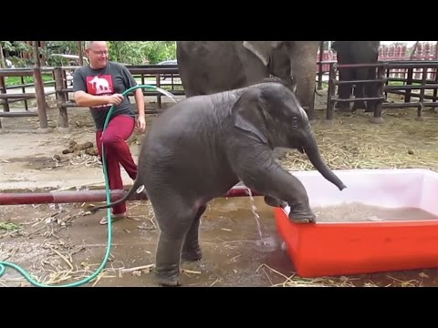 Baby Elephant Can't Figure Out How His Bath Tub Works
